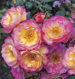 Weeks Roses Rainbow Happy Trails™ Groundcover Rose