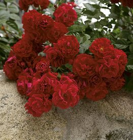 Weeks Roses Red Ribbons™ Groundcover Rose