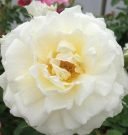 Star Roses Cloud 10™ Climbing Rose