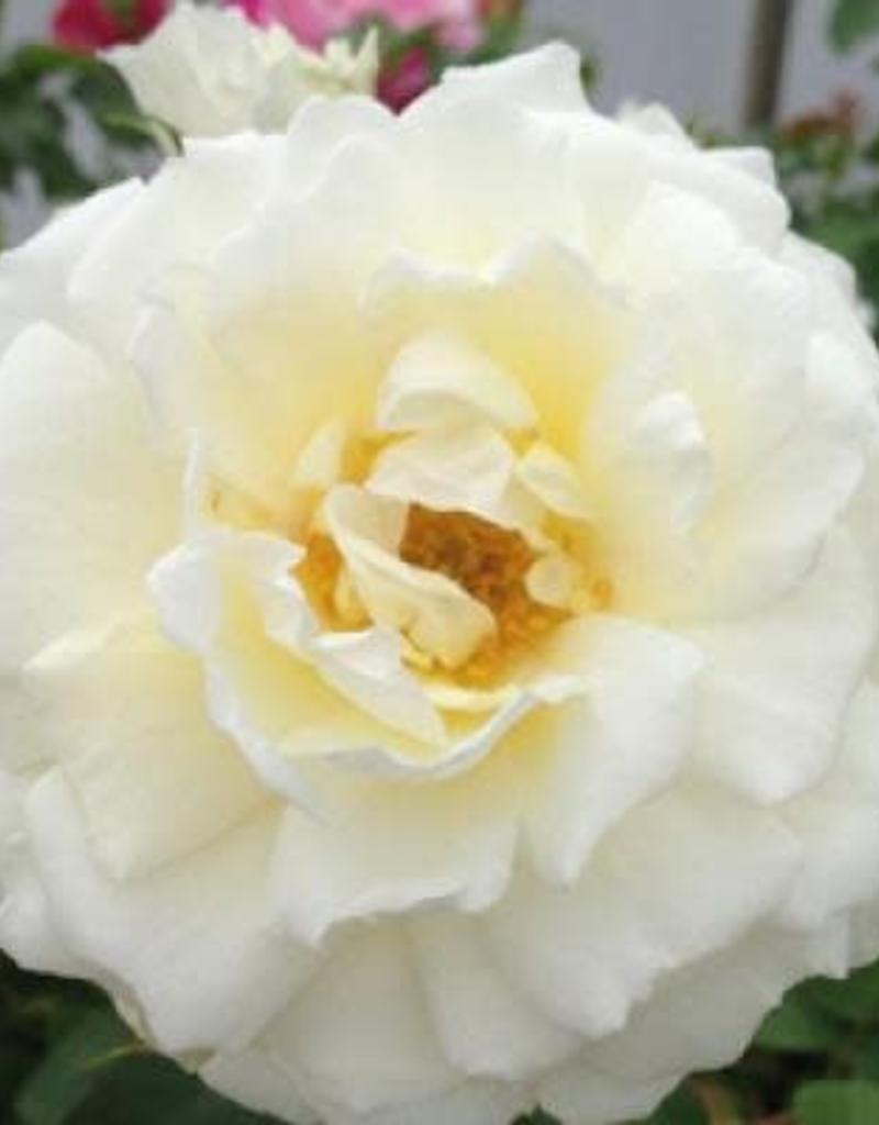 Star Roses Cloud 10™ Climbing Rose