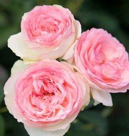 Star Roses Eden Climber® Climbing Rose
