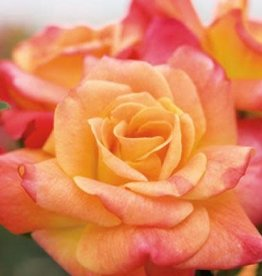 Star Roses Joseph's Coat™ Climbing Rose