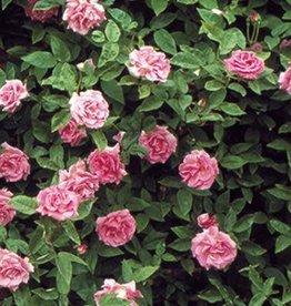 Star Roses Zéphirine Drouhin™ Climbing Rose
