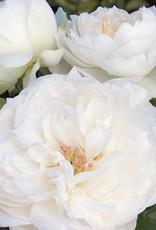 Star Roses Bolero™ Romantica® Floribunda Rose