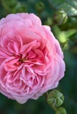 Star Roses Apricot Drift® Groundcover Rose