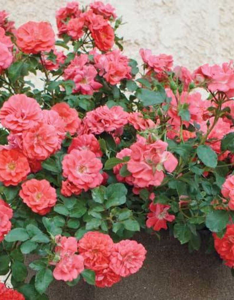 Star Roses Coral Drift® Groundcover Rose