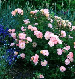 Star Roses Peach Drift® Groundcover Rose