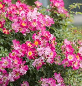 Star Roses Pink Drift® Groundcover Rose