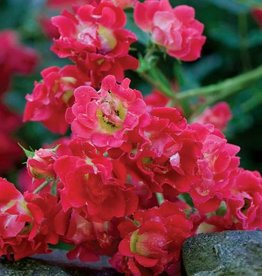 Star Roses Red Drift® Groundcover Rose