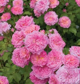 Star Roses Sweet Drift® Groundcover Rose