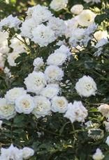 Star Roses White Drift® Groundcover Rose