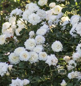 Star Roses White Drift® Groundcover Rose