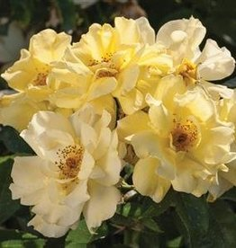 Star Roses Lemon Drift® Groundcover Rose