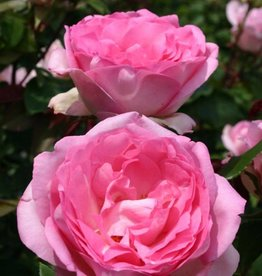 Star Roses Beverly™ Eleganza® Hybrid Tea Rose