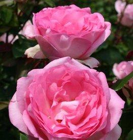 Star Roses Beverly™ Eleganza® Hybrid Tea Rose