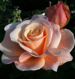 Star Roses Oh Happy Day™ Eleganza® Hybrid Tea Rose