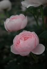 David Austin Queen of Sweden™ English Rose