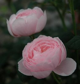 David Austin Queen of Sweden™ English Rose