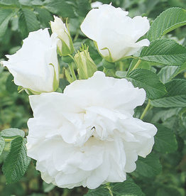 Star Roses Blanc Double de Coubert™ Rugosa Rose