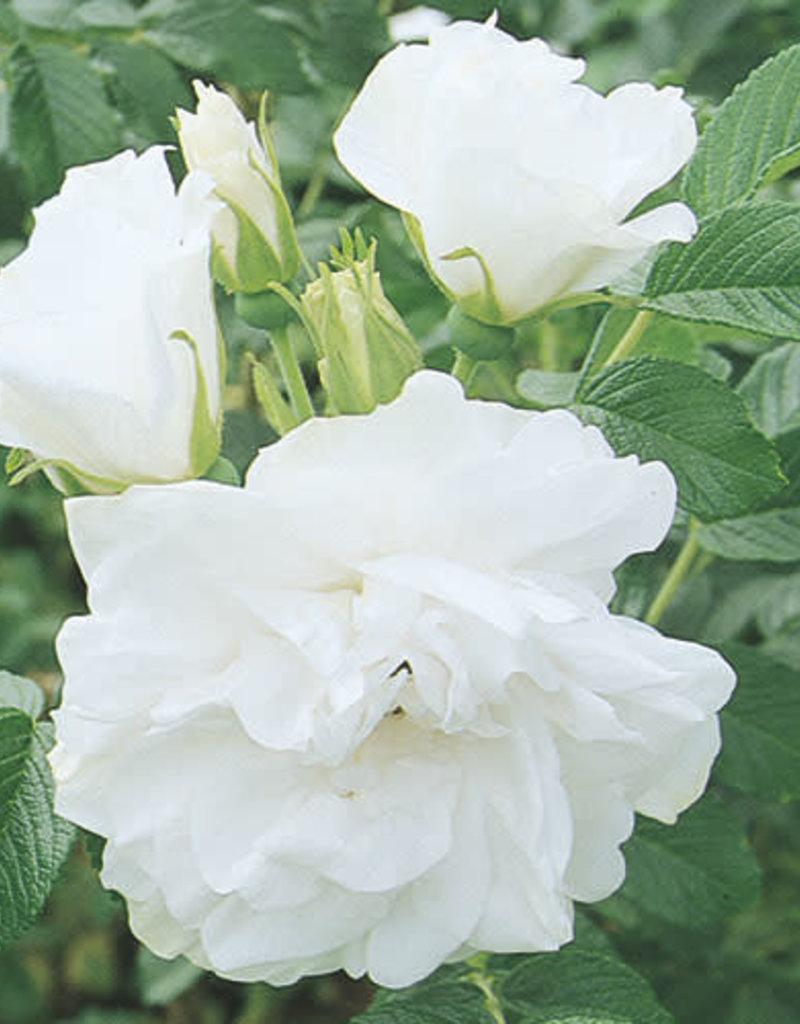 Star Roses Blanc Double de Coubert™ Rugosa Rose