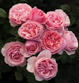 Weeks Roses All Dressed Up™ Floribunda Rose