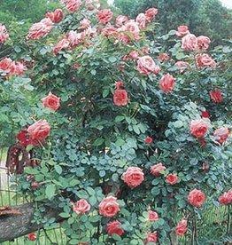 Weeks Roses America™ Climbing Rose