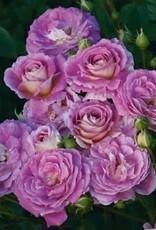 Weeks Roses Arctic Blue™ Floribunda Rose