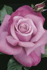 Weeks Roses Barbra Streisand™ Hybrid Tea Rose