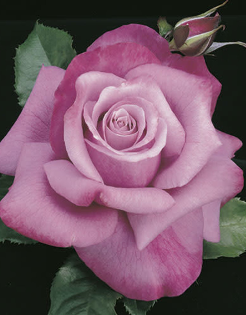 Weeks Roses Barbra Streisand™ Hybrid Tea Rose