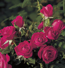 Weeks Roses Be My Baby™ Mini Patio Rose