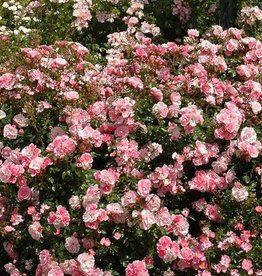 Weeks Roses Bonica® Shrub Rose