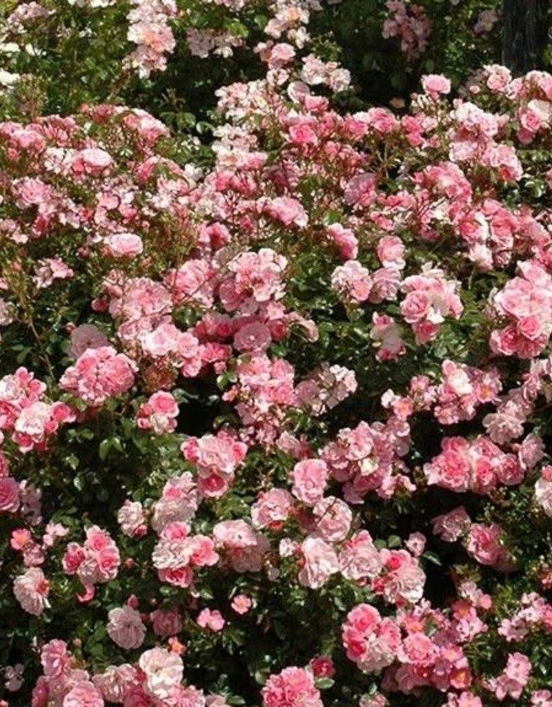 Weeks Roses Bonica® Shrub Rose