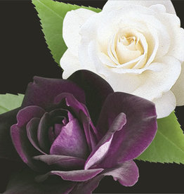 Weeks Roses Burgundy Iceberg and Iceberg Two-fer® Floribunda Rose