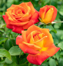 Weeks Roses Burst of Joy™ Floribunda Rose