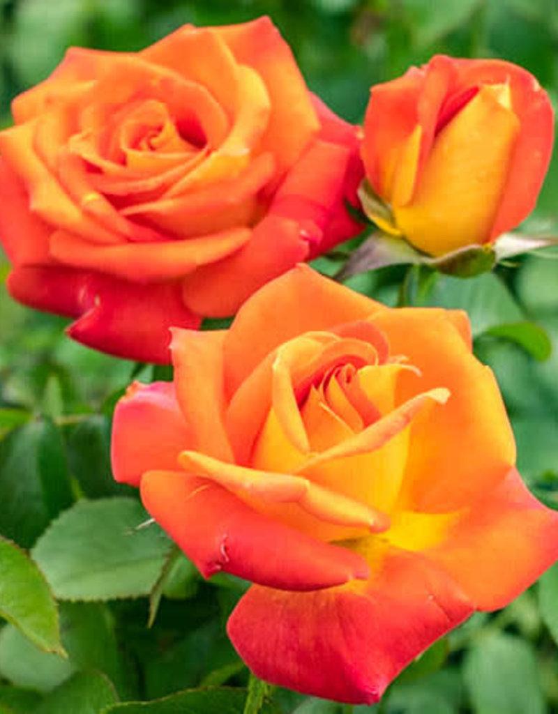 Weeks Roses Burst of Joy™ Floribunda Rose