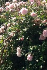 Weeks Roses Cecile Brunner™ Climbing Rose
