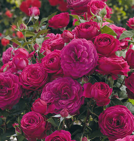 Weeks Roses Celestial Night™ Floribunda Rose