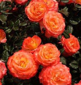 Weeks Roses Chihuly® Floribunda Rose