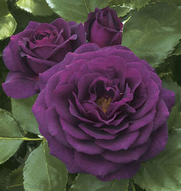 Weeks Roses Ebb Tide™ Floribunda Rose