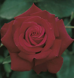 Weeks Roses Firefighter® Hybrid Tea Rose