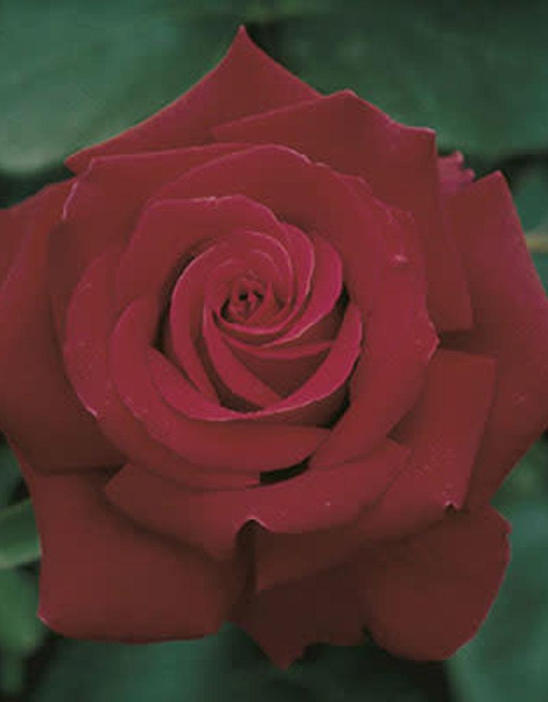 Weeks Roses Firefighter® Hybrid Tea Rose