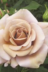 Weeks Roses Koko Loko™ Floribunda Rose