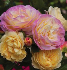 Weeks Roses Life of the Party™ Floribunda Rose