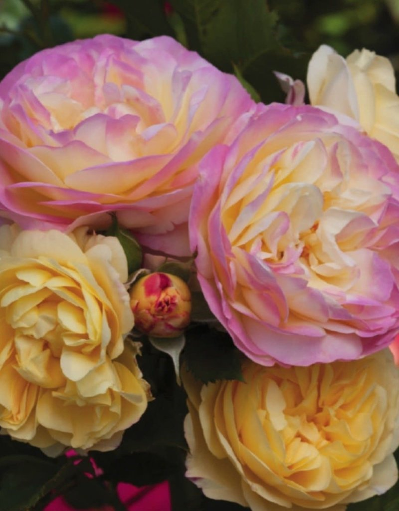 Weeks Roses Life of the Party™ Floribunda Rose