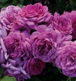 Weeks Roses Life's Little Pleasures™ Miniature (Miniflora) Rose
