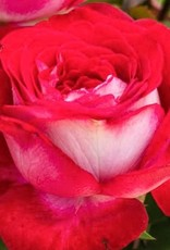 Weeks Roses Love at First Sight™ Hybrid Tea Rose