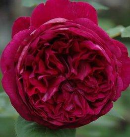 David Austin Falstaff™ English Shrub Rose