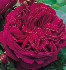 David Austin Falstaff™ English Shrub Rose