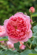 David Austin Boscobel™ English Rose