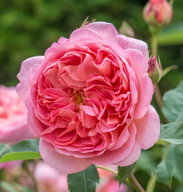 David Austin Boscobel™ English Shrub Rose